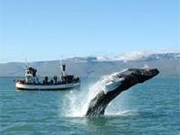Whale Watching Iceland - Husavik